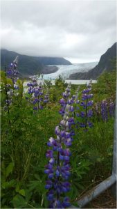 Mendenhall Glacier and Lupines